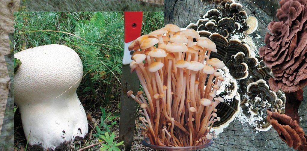 Гриб Фарма: грибы против вирусов и опухолей